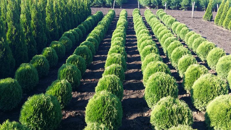 Arbori ornamentali tuia pepiniera pomicola sarusi arad for Arbusti ornamentali